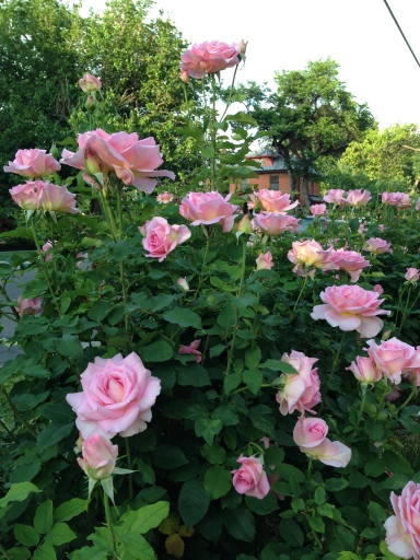 roses-june-2013-IMG_1063